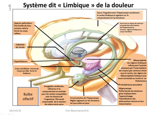 système limbique.png